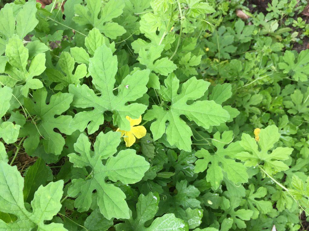 Tout comme la capsaïcine, le lapacho ou les feuilles de Graviola corossol le concombre amer est aussi un anti cancer naturel puissant.
